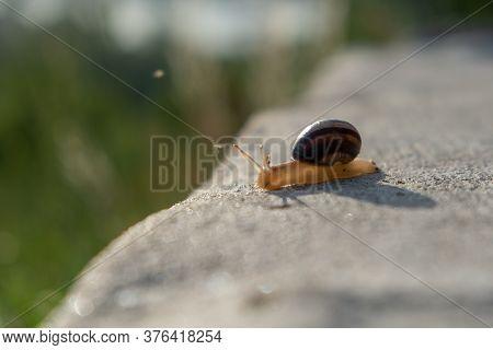 Snail On Rock Moving. Burgundy Snail Helix, Roman Snail, Edible Snail, Escargot . Helix Promatia