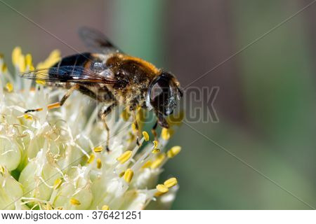 Macro Photo Of A Bee Pollinating And Collecting Nectar On A White Flower, Copy Space, Selective Focu
