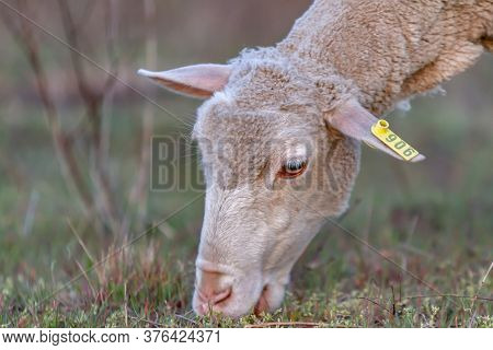 A Sheep Grazes In The Meadow. Head Close-up, Light Muzzle. Horizontal Orientation.