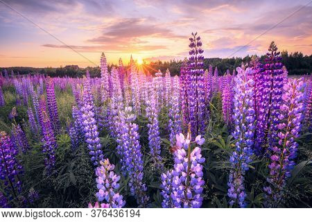 Summer Landscape With Violet Flowers At The Sunset. Summer Evening In Field With Blooming Lupins. Ev