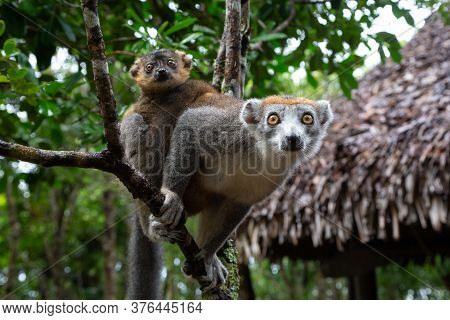A Crown Lemur On A Tree In The Rainforest Of Madagascar