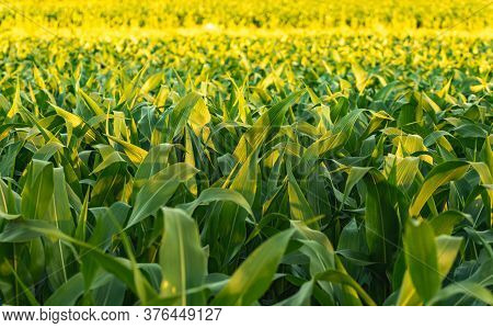 Corn Field In Sunset. Maize Agriculture Theme. Farming In Austria, Styria