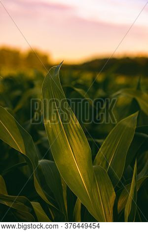 Corn Field In Sunset. Maize Closeup, Agriculture Theme. Selective Focus Shoot