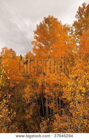 Aspen trees in Fall Color