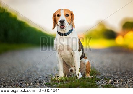 Portrait Of A Tricolor Beagle Dog In Nature Sitting On Rural Road, Looking At Camera. Dog Background
