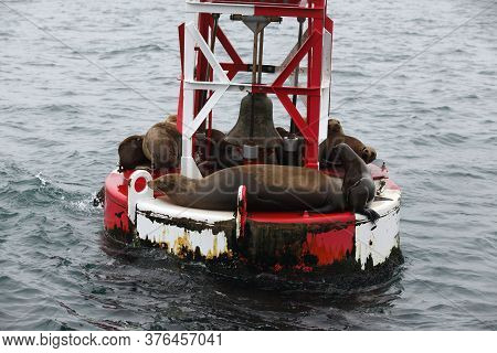 Californian Sea Lions; Basking On A Harbour Buoy, Monterey Bay;california