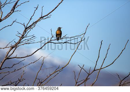 Single American Robin Perching On A Tree Branch Against A Blue Sky And Snowy Mountain