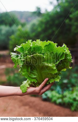 closeup of a young caucasian man holding in his hand a butterhead lettuce, freshly collected in an organic orchard