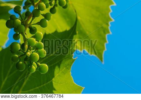 A Bunch Of Unripe Green Grapes On The Background Of Grape Leaves And Blue Sky. The Origin Of Wine At