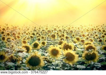 Field Of Sunflowers, Beautiful Flowering Sunflower, Beautiful Nature
