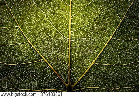 Close-up Of Backlit Dark Green Leaf. Detail Of Veins. Abstract Macro Nature Photography