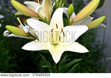 Close-up Shot Of A Beige Lily Flower On A Summer Day.