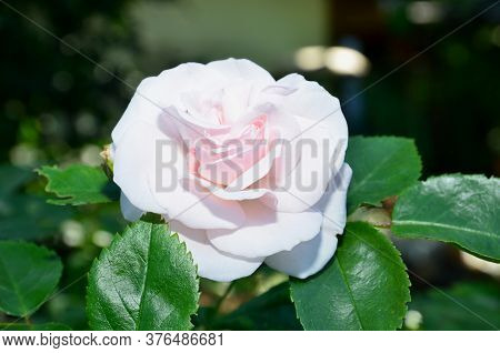 White-pink Rose Flower With Its Leaves On A Summer Day.