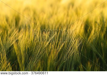 Barley Field. Ears Of Barley. Beautiful Sunset Landscape. Background Of Ripening Ears. Ripe Cereal C