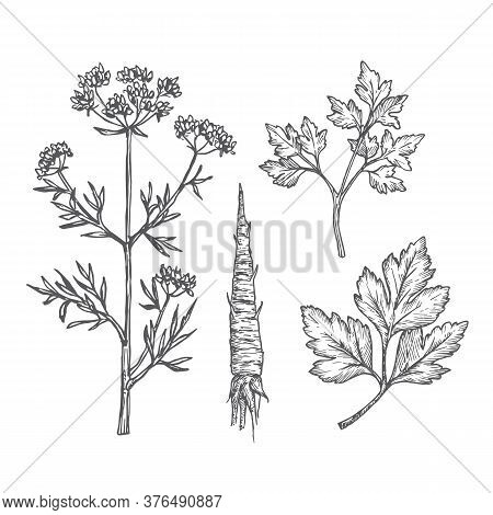 Hand Drawn Parsley Leaves, Branches, Stem And Root Vector Illustrations Set. Abstract Rustic Sketche