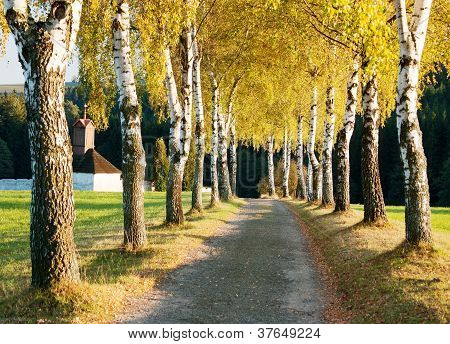 alley of birch trees and way to cemetery