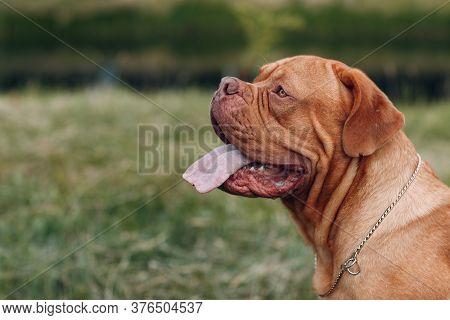 Portrait Dogue De Bordeaux. Purebred French Mastiff Dog.