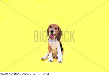 Portrait Of Red Young Beagle Puppy On The Yellow Background. Copy Space.