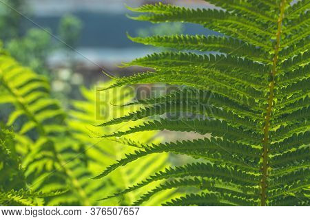 Fern Leaves Background. Bright Sunny View. Abstract Natural Background. Fern Frond Close-up.