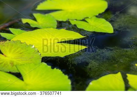 Water Lily Leaves On The Water. Bright Green Leaves Natural Background. Pond Water Surface. Aquatic