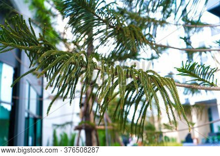 Green Conifers In Asia. Gardening Of The Local Area.