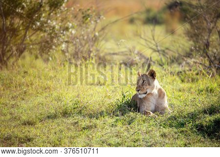 Beautiful young adult lioness takes shade from the heat of the day in the Masai mara, Kenya.