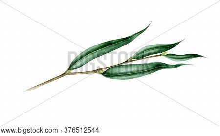 Willow Branch With Leaves Watercolor Illustration. Hand Painted Close Up Single Leaf Object. Perfect
