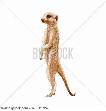 Meerkat Standing Watercolor Painted Illustration. Hand Drawn Africa Single Mongoose Animal. African