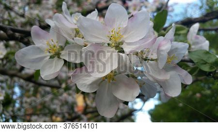 Blooming Apple Trees In Spring. Branch Of A Flowering Apple Tree. Apple Blossom.