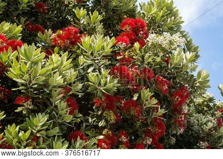 Red Flowers Of The Blooming Callistemon Tree. It Is Called Beautiful Stamen, Red Stamen, Brushes For