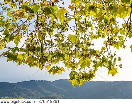 Bright Platanus Hispanica Tree Leaves Backlit At Sunset