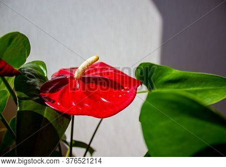 Beautiful Red Anthurium Flower On A White Background. Peaceful Nature.