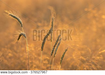 A Field Covered With Rye. It Is July Day, The Grain Ripens, The Stalk Turns Yellow, The Ears Are Hea