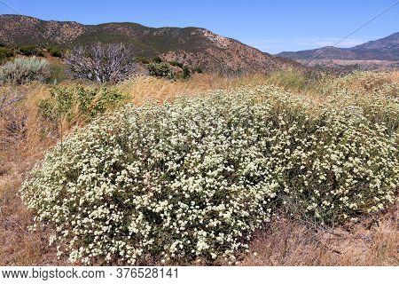 Buckwheat Flower Blossoms On An Arid Field Taken In The Rural Southern California Plateau