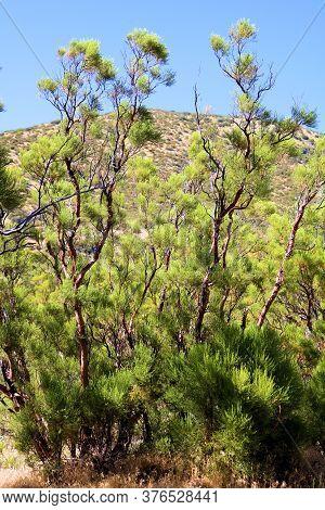 Lush Chaparral Plants On An Arid Field With Barren Hills Beyond Taken At Rural High Desert Badlands