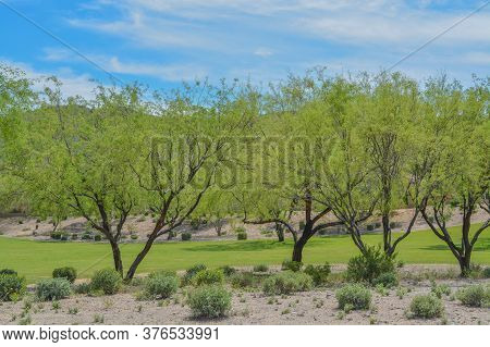 Beautiful Mesquite Trees In The Desert Southwest, Maricopa County, Arizona