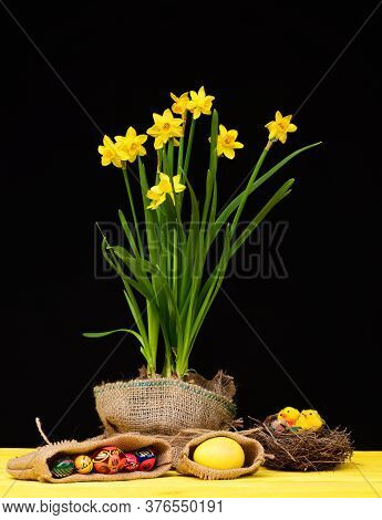 Daffodils In Yellow Colour Growing In Sackcloth Pot