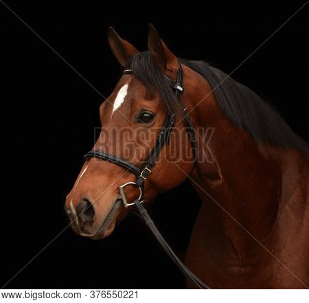 A Beautiful Thoroughbred Bay Horse Portrait With Attentive Facial Expression. Image Isolated On Blac