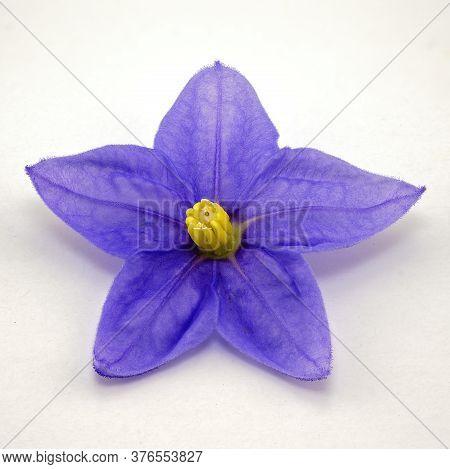 Close Up Of A Tiny Blue Starlight Flower