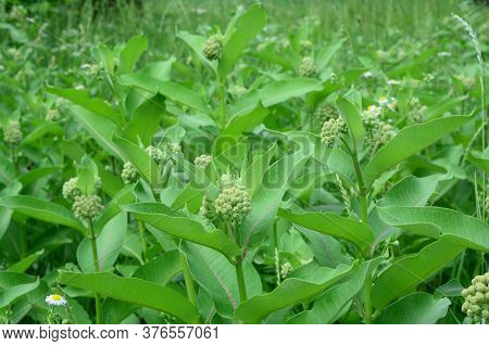 Asclepias Syriaca, Common Milkweed, Butterfly Flower, Silkweed, A Honey Plant Native To Canada Consi