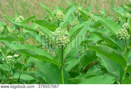 Asclepias Syriaca Or Common Milkweed Is Good Honey Plant But Is An Invasive Species In Europe As Pos