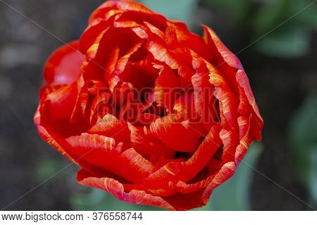 Beautiful Magnificent Red Tulip.spring Or Summer Background.