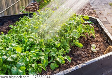 Watering rucola plants in vegetable raised bed. Irrigation of vegetable and plants.