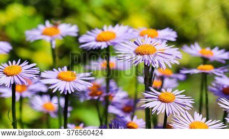 Alpine Aster (aster Alpinus). Beautiful Purple Flowers With An Orange Center In The Garden