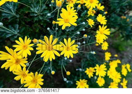 Many Yellow Daisies (daisy Asteraceae) With Green Blurred Background, Blooming In Autumn In Kenroku-