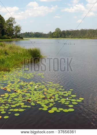 Water lilies on a lake with trees in the background