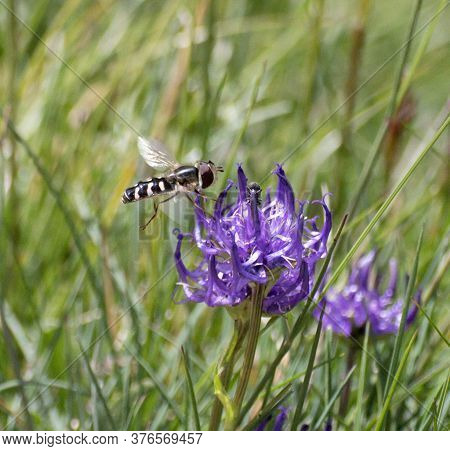 Rock Bee Pollinating A Mountain Flower At The Foot Of The Italian Dolomites