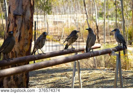 Grey Currawongs In The Wild - Australia