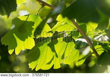 Branch With Leaves Of Ginkgo Bilobo Close-up, In Backlight, Medicinal Plant