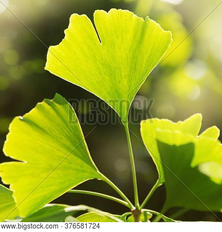 Ginkgo Bilobo Leaves Close-up, In Beautiful Sunny Light, Medicinal Plant